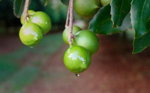 Milkadamia Nut